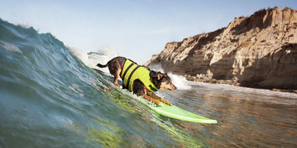 Longest Wave Surfed By A Dog